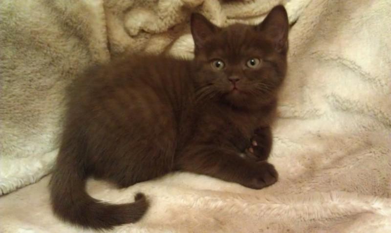 котята коричневые фото